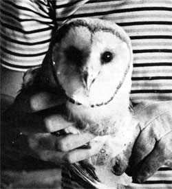 American Barn Owl: Fermilab's latest conservation effort