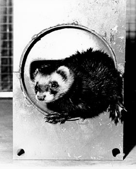 Felicia Ferret emerging from a 300-foot long vacuum pipe at the NAL. The tiny animal wears a special harness to which is fastened a string which she pulls through the pipe. Workmen can then fasten a swab to the string which when also pulled through the pipe, cleans out unwanted construction particles. Aug., 1971 (Photo by Tim Fielding, NAL)