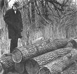 Glenn Lee surveys unauthorized felling of black walnut trees in 1970